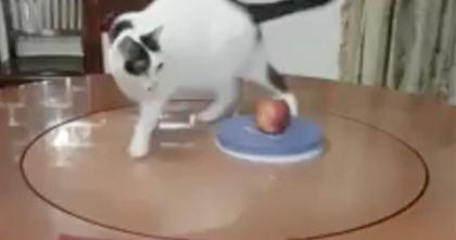 What this cat does every day to get exercise will make you laugh on the floor… This is TOO MUCH!!