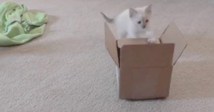 Kitten discovers cardboard box for first time, but her response to it is just TOO MUCH… Awwwww!!