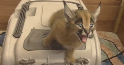 """Kitten starts 'screaming' for food, but when I turned the volume up… """"What the heck is this sound?!"""""""