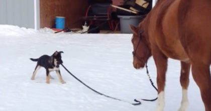 Puppy notices the horse's reins laying on the ground, but they never expected his next move