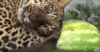 Rescued Leopard discovers a watermelon for the first time… Just watch his response, I LOVE it!!