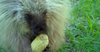 She gives porcupine some corn, but when she tries to take it back… OMG, now listen to the response!!