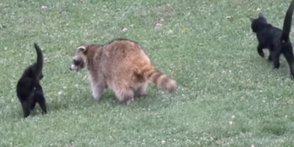 Women sees blind raccoon walking up, then she realizes what the cats are doing and grabs the camera