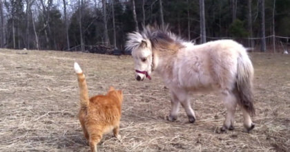 See this cat walking up to his old friend mini horse? Well, watch the next part… I just melted!