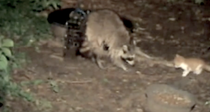 Kitten Approaches Wild Raccoon And Tries Chasing Him Off – Then Camera Captures The Unthinkable