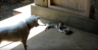 Kitten starts meowing for help, then the dog hears her cries. Now watch how he answers her request.