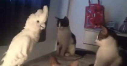 Lonely Parrot Tries To Make Friends With The Cats. Then You Hear His Response..How In The World?!