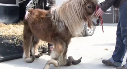 Pony freed after spending years locked up in 'torture pin' – Now watch when he finally discovers freedom